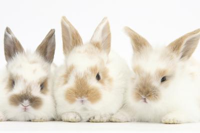 Three Cute Baby Rabbits in a Row-Mark Taylor-Photographic Print