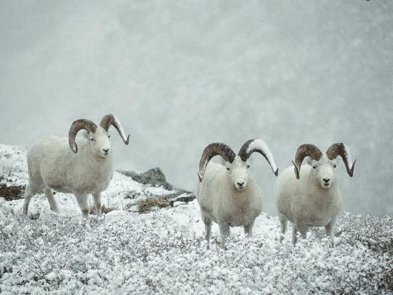 Three Dalls Sheep Look up from a Snowy Ledge-Michael S^ Quinton-Photographic Print