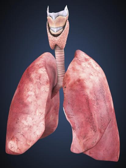 Three Dimensional View of Human Lungs-Stocktrek Images-Art Print