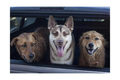 Three Dogs in Back of Car-Henri Silberman-Photographic Print