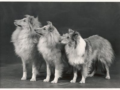 Three Dogs Standing Together--Photographic Print