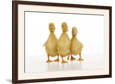 Three Ducklings Stood in a Row--Framed Photographic Print