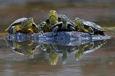 Three European Pond Turtles (Emys Orbicularis) and a Balkan Terrapin on Rock, Butrint, Albania-Geidemark-Photographic Print