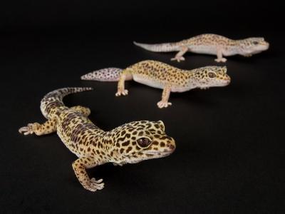 Three Female Leopard Geckos at the Zoo, Sunset Zoo, Kansas-Joel Sartore-Photographic Print