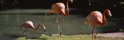 Three Flamingos Foraging by a Pond, Jungle Gardens, Sarasota, Florida, USA