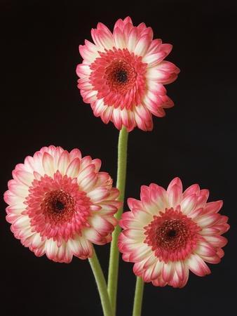 https://imgc.artprintimages.com/img/print/three-gerbera-daisies-on-dark-background_u-l-pzl1j00.jpg?p=0