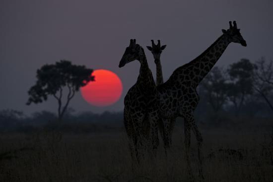 Three Giraffe Silhouettes Against the Setting Sun-Beverly Joubert-Photographic Print