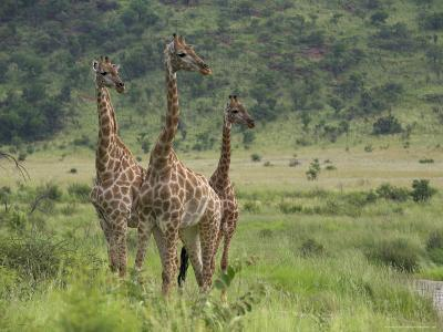 Three Giraffes, Pilanesberg Game Reserve, North West Province, South Africa, Africa-Ann & Steve Toon-Photographic Print