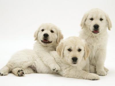 Three Golden Retriever Pups-Jane Burton-Photographic Print