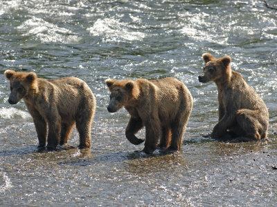 https://imgc.artprintimages.com/img/print/three-grizzly-bear-cubs-2-year-salmon-brooks-river-katmai-national-park-alaska-usa_u-l-q10o0nx0.jpg?p=0