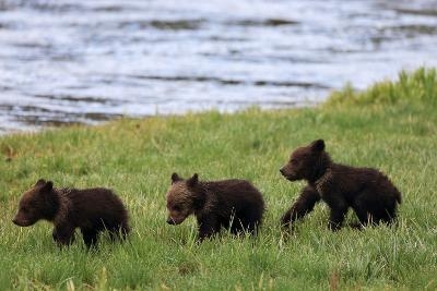 Three Grizzly Bear Cubs, Ursus Arctos, Walking in a Line Alongside a River-Robbie George-Photographic Print