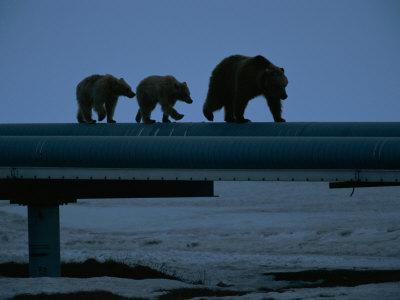 Three Grizzly Bears Walking On Some Pipes Photographic Print By Joel