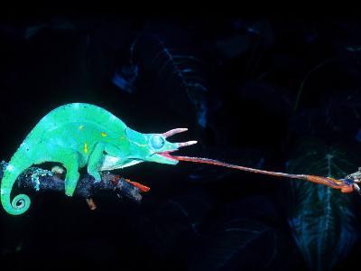 Three-horned Chameleon Capturing a Cricket, Native to Camerouns-David Northcott-Photographic Print