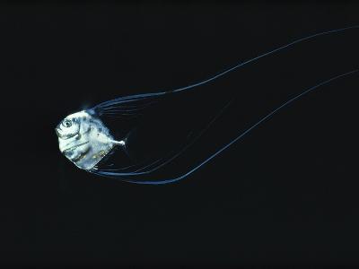 Three-Inch Baby African Pompano Navigates Through the Night Seas off the Hawaiian Islands-Bill Curtsinger-Photographic Print