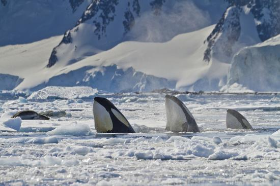 Three Killer Whales Hunt a Leopard Seal on Pack Ice-Ralph Lee Hopkins-Photographic Print