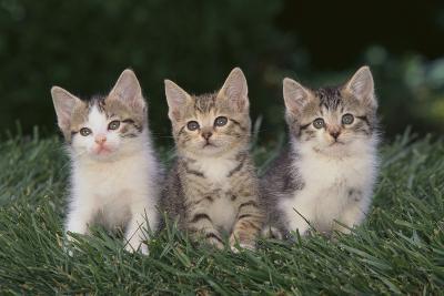 Three Kittens-DLILLC-Photographic Print