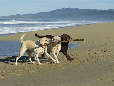 Three Labrador Retrievers on One Stick at Beach-Roy Toft-Photographic Print