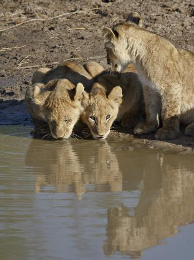 Three Lion Cubs Drinking, Masai Mara National Reserve, Kenya, East Africa, Africa-James Hager-Photographic Print