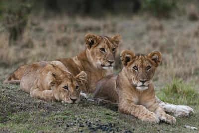 Three Lion Cubs, Panthera Leo, Resting Together-Sergio Pitamitz-Photographic Print