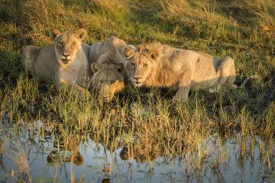 Three Lions Drinking from Pond-Sheila Haddad-Photographic Print