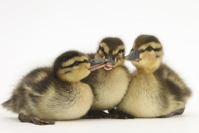 Three Mallard (Anas Platyrhynchos) Ducklings, 1 Week Old, Captive-Mark Taylor-Photographic Print