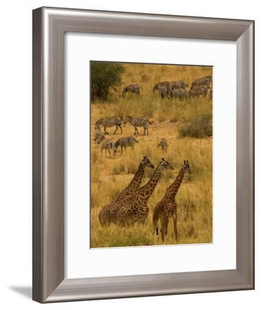 Three Masai Giraffe in Foreground with a Herd of Common Zebras Behind-Roy Toft-Framed Photographic Print