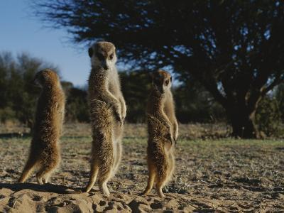Three Meerkats with Paws Poised Neatly in Front of Their Stomachs-Mattias Klum-Photographic Print