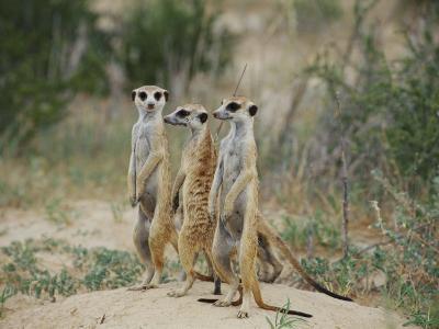 Three Meerkats-Nicole Duplaix-Photographic Print