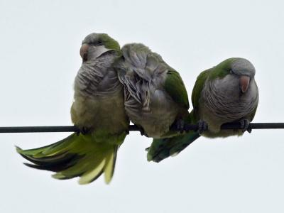 Three Monk Parakeets Brace Themselves against a Stiff Breeze as They Perch on a Wire--Photographic Print