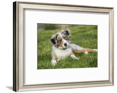 Three month old Blue Merle Australian Shepherd puppy looking quizzical while resting in her yard.-Janet Horton-Framed Photographic Print