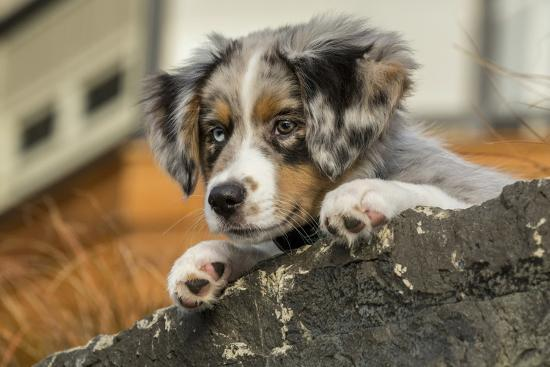 Three Month Old Blue Merle Australian Shepherd Puppy Resting And Looking Out Over A Rock Ledge Photographic Print By Janet Horton Artcom