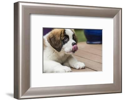 Three month old Saint Bernard puppy licking his lips in anticipation of another treat-Janet Horton-Framed Photographic Print