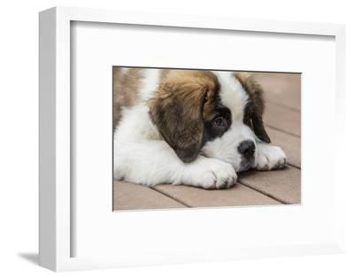 Three month old Saint Bernard puppy looking tired as he rests on his deck after playtime.-Janet Horton-Framed Photographic Print