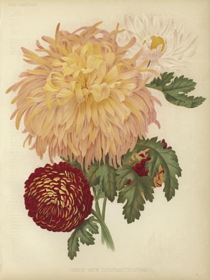 Three New Chrysanthemums--Giclee Print