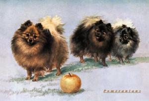 Three of Mrs. Hall Walker's Champion Pomeranians