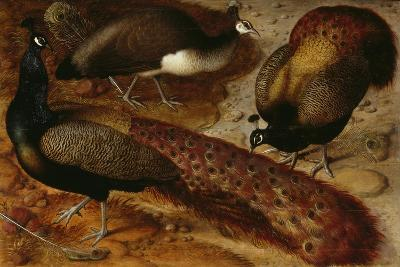 Three Peacocks, 1566-Ludger Tom Ring-Giclee Print