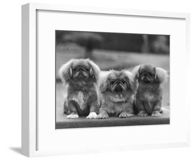 Three Pekingese Puppies One Lying the Other Two Sitting
