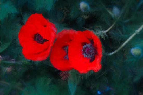 Three Poppies of Scarlet-Helen White-Giclee Print