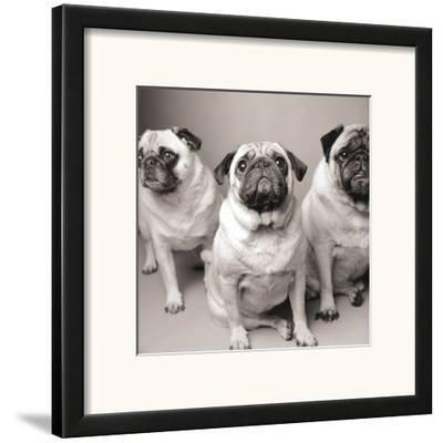 Three Pugs-Amanda Jones-Framed Art Print