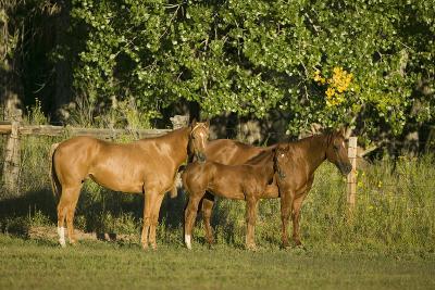 Three Quarter Horses Together in the Pasture-DLILLC-Photographic Print