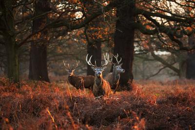 https://imgc.artprintimages.com/img/print/three-red-deer-cervus-elaphus-standing-in-london-s-richmond-park_u-l-q1361ur0.jpg?p=0