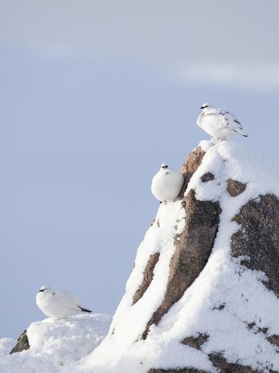 Three Rock Ptarmigan (Lagopus Mutus) Perched, Winter Plumage, Cairngorms Np, Highlands, Scotland-Peter Cairns-Photographic Print