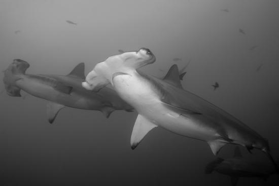 Three Scalloped Hammerhead Sharks, Sphyrna Lewini, Swimming Among Smaller Fish-Jeff Wildermuth-Photographic Print