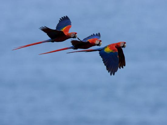 Three Scarlet Macaws (Ara Macao) in Flight, Blue Sky Background-Roy Toft-Photographic Print