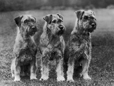 Three Schnauzers Sitting Together--Photographic Print