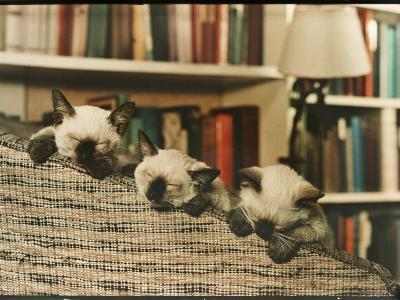 Three Siamese Kittens Take a Nap by Resting Their Heads on the Arm of a Padded Chair-Willard Culver-Photographic Print