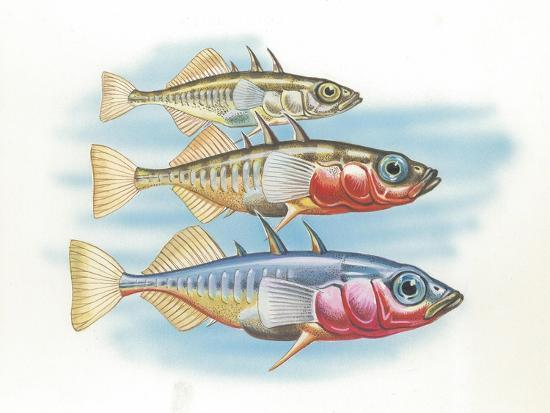 Three-Spined Stickleback Gasterosteus Aculeatus, Males Changing Color in Breeding Season--Giclee Print