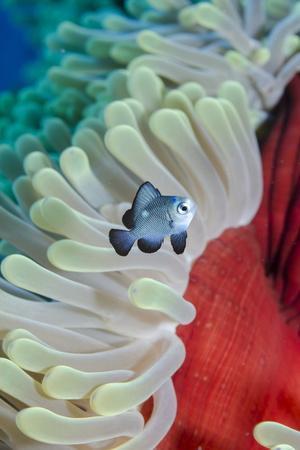 Three-Spot Damsel Fish (Dascyllus Trimaculatus)-Mark Doherty-Photographic Print