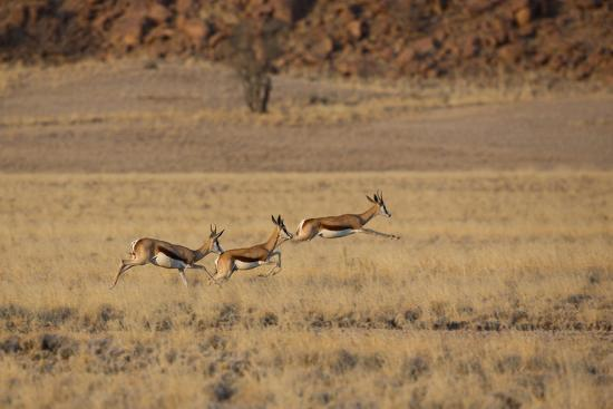 Three Springbok on the Run in Namib-Naukluft National Park-Alex Saberi-Photographic Print