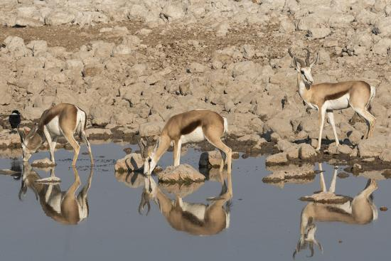 Three Springbok pause to drink at the Okaukuejo waterhole, Etosha National Park, Namibia.-Brenda Tharp-Photographic Print